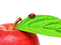 Ladybug on a apple leaf Stock Image