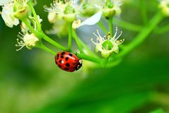 Ladybug on the apple tree in the spring Stock Photo