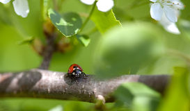 Ladybug on Appletree Royalty Free Stock Photos