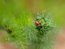 Ladybug. Asian ladybug on a green leaf Royalty Free Stock Image