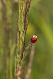 Ladybug asiatico Immagini Stock