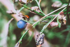 Ladybug in autumn forest Royalty Free Stock Images
