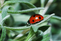 Ladybug back Royalty Free Stock Images