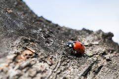 Ladybug on a bark. Little ladybug on a bark of tree Royalty Free Stock Image