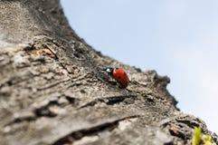 Ladybug on a bark. Little ladybug on a bark of tree Stock Image