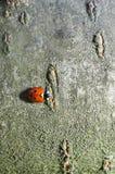 Ladybug on a bark. Little ladybug on a bark of tree Royalty Free Stock Photo