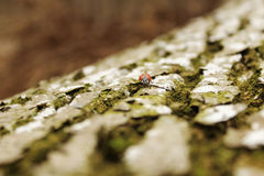 Ladybug on the bark Stock Photography