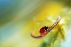Ladybug on a beautiful background Stock Photography