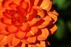 Ladybug on a beautiful orange bud of dahlias, flowers royalty free stock photography
