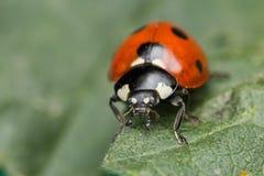 Ladybug. A beautiful portrait of a coccinella septempunctata Royalty Free Stock Image