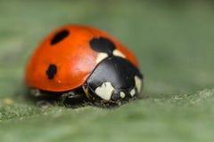 Ladybug. A beautiful portrait of a coccinella septempunctata Royalty Free Stock Photography