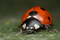 Ladybug. A beautiful portrait of a coccinella septempunctata Royalty Free Stock Images