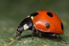 Ladybug. A beautiful portrait of a coccinella septempunctata Royalty Free Stock Photos