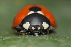 Ladybug. A beautiful portrait of a coccinella septempunctata Stock Photo