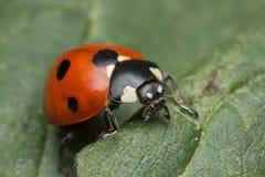 Ladybug. A beautiful portrait of a coccinella septempunctata Royalty Free Stock Photo