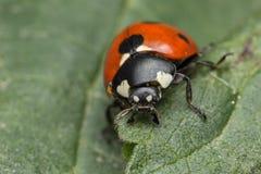 Ladybug. A beautiful portrait of a coccinella septempunctata Stock Images