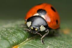 Ladybug. A beautiful portrait of a coccinella septempunctata Stock Photos