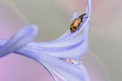 A ladybug on a beautiful purple flower Stock Images