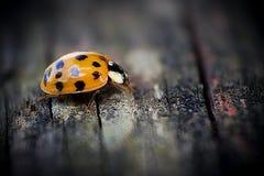 Ladybug. Beautiful Ladybug on wood macro photo Stock Photos