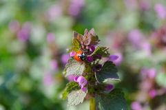 Ladybug. Beautifull ladybug on the flower with bokeh effect Stock Photos