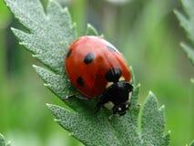 Ladybug. Beautifull ladybug on green leaf Royalty Free Stock Image