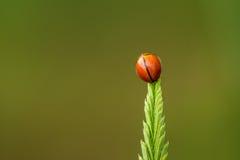 Ladybug Beautyful на покрашенных листьях Стоковое фото RF