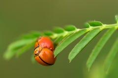 Ladybug Beautyful на покрашенных листьях Стоковые Изображения