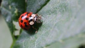 Ladybug beetle stock footage