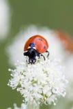 Ladybug beetle pollination on white flower petal. Macro view selective focus Royalty Free Stock Photos