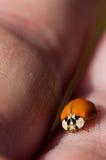 Ladybug beetle portrait. A Ladybug Beetle on the fin gets of a caucasian Stock Photo