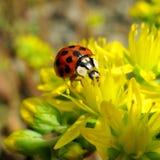 Ladybug. Beetle on the yellow flower Royalty Free Stock Images