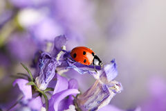 Ladybug and Bellflowers Royalty Free Stock Photos