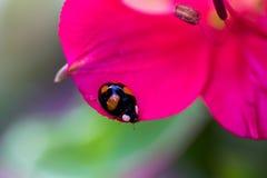 Ladybug in black Royalty Free Stock Image