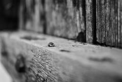 Ladybug black and white background royalty free stock photography