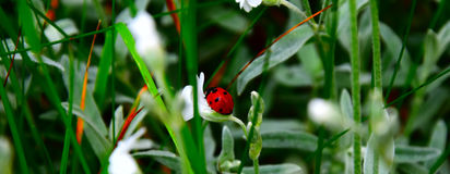 Ladybug on a blade of grass royalty free stock photo
