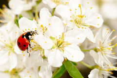 Ladybug on blooming fruit tree branches Royalty Free Stock Image