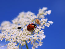 Ladybug on blossom. A ladybug on a white blossom in front of a blue summer sky Stock Images
