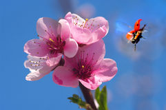 Ladybug with a blossomed tree Stock Images