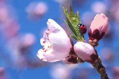 Ladybug on a blossomed tree Royalty Free Stock Image