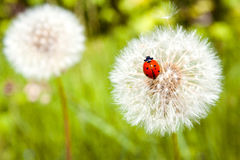 Ladybug on blowball Stock Photos