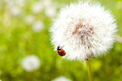 Ladybug on blowball Royalty Free Stock Photo