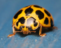 Ladybug on blue Royalty Free Stock Image