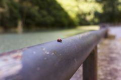 A ladybug on the border line. Walking across the Furlo Canyon we met this ladybug: it`s a lucky meeting Royalty Free Stock Photography