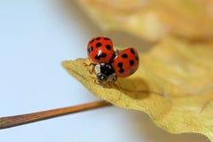 Ladybug bow Stock Photography