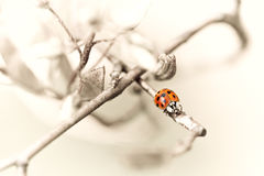 Ladybug on branch Royalty Free Stock Photography
