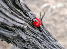 Ladybug on a branch stock image