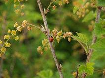 Ladybug on a branch of blossoming red currant (Ribes rubrum L. ) Stock Photos