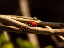 Ladybug on a Branch royalty free stock image