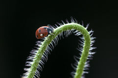 Ladybug on branch Stock Photos