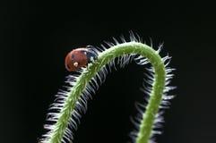 Ladybug on branch Stock Photos